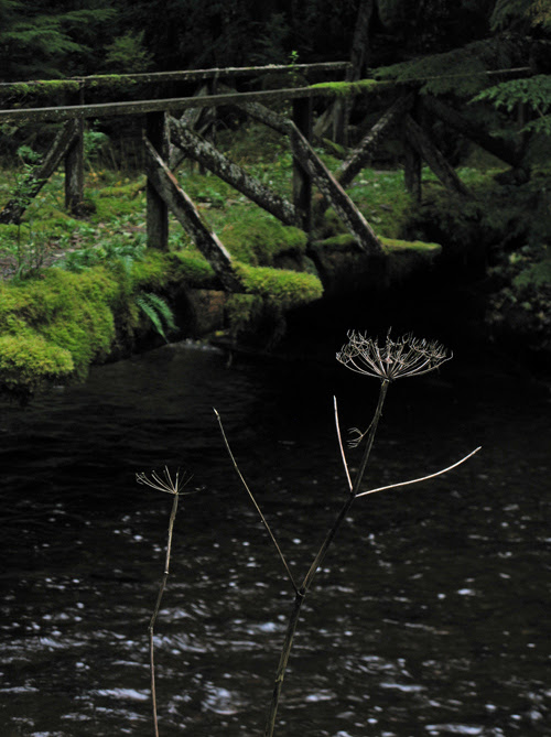 dead wild celery plant near a creek, Kasaan, Alaska