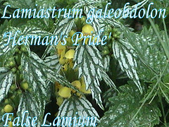 Lamiastrum galeobdolon 'Herman's Pride' False ...