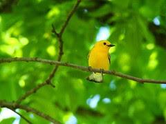 Prothonotary warbler Lake Isabella