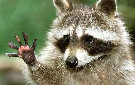 Un mapache es atrapado in fraganti después de que su «plan perfecto» de robo saliera mal