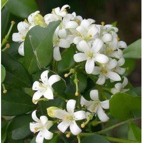 Orange Jasmine Plant