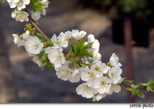 flores del cerezo 'picota'