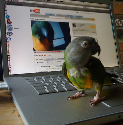 zomby's parrot, Rebel