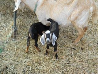 New Goat Kid Ralphie