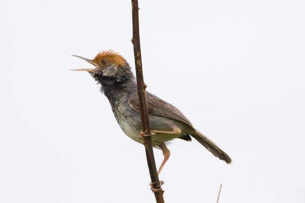 Male Cambodian tailorbird
