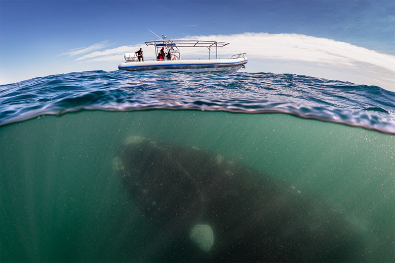 hofman_right_whale_over_under_boat