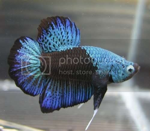 Fish collection hickey decorative betta fish for Big betta fish