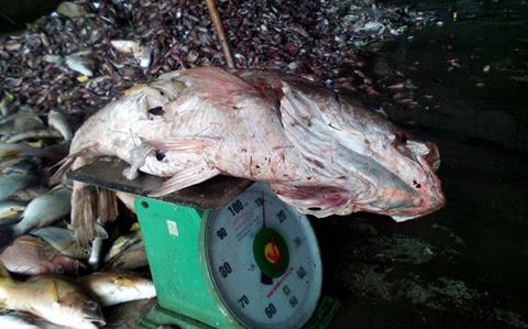 hóa chất Formosa, cá chết, Formosa