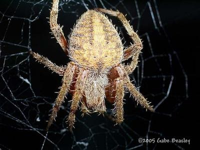 Mostly Macros Araneus Cavaticus The Barn Spider