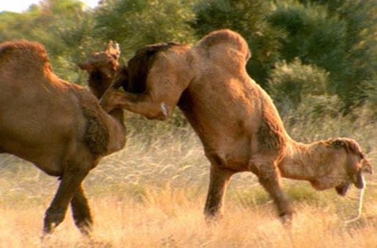 Καμήλες (1)