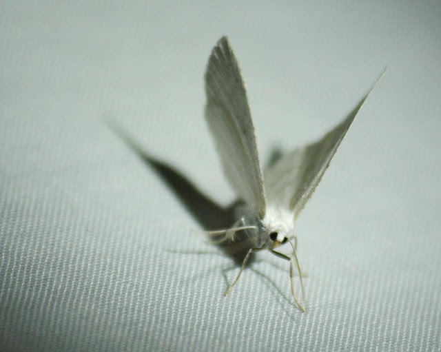 Common White Wave moth DSC_4085