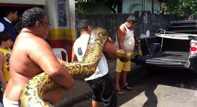 Cobra de aproximadamente 6m de comprimento (Foto: Tiago Melo/G1 AM)