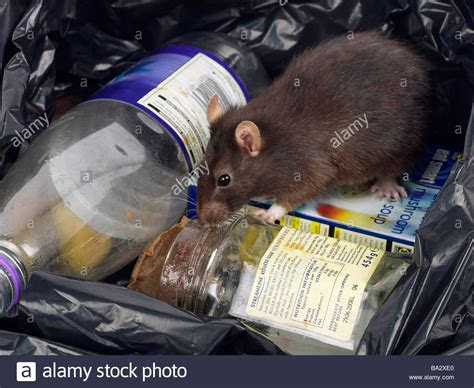 A brown rat around rubbish in a bin bag Stock Photo, Royalty Free Image: 23421608   Alamy