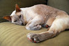 Blue Point Male Siamese Cat