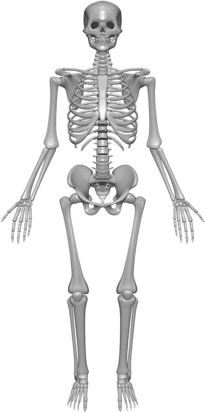 Skeleton System - (Structure + Composition + Facts ...