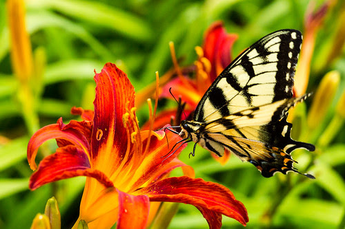 Butterfly on daylilies by ghaff