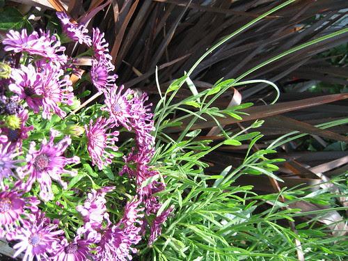 Osteospermum, Lavander and Phormium