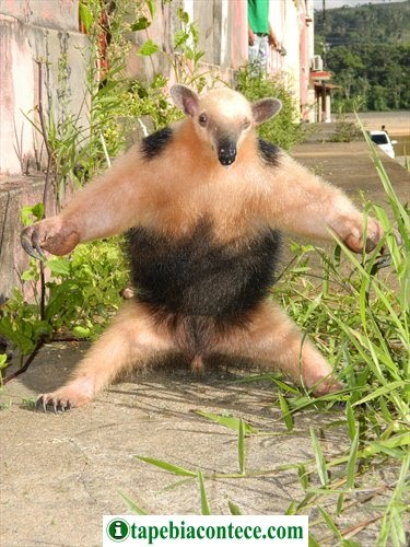 Morador se surpreende ao encontrar tamanduá no quintal na cidade baixa