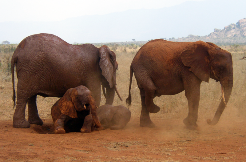File:African Bush Elephants in Tsavo East National Park.png