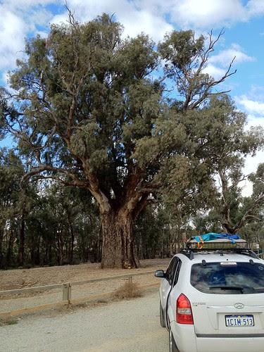 Giant Gum Tree #roadtrip by Jimmerish MoBlog