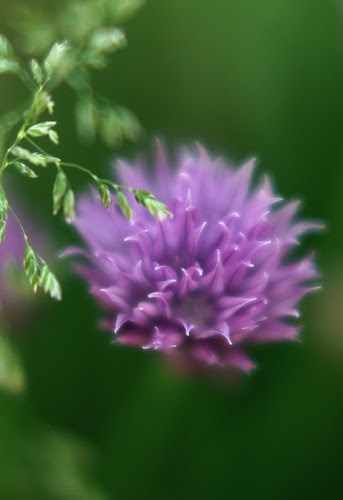 I-dream-of-chives