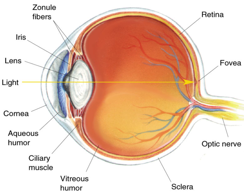 Diagram Of Human Eye With Labelling