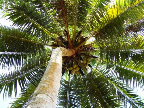 Coconut lowers ldl vldl and triglycerides raises hdl for Pianta di cocco