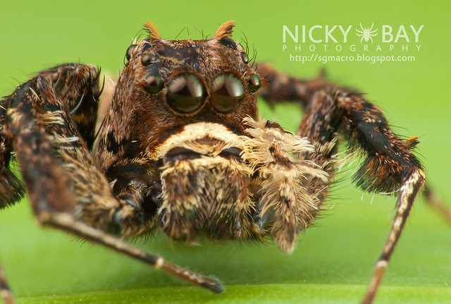 Jumping Spider (Portia sp.) - DSC_5794