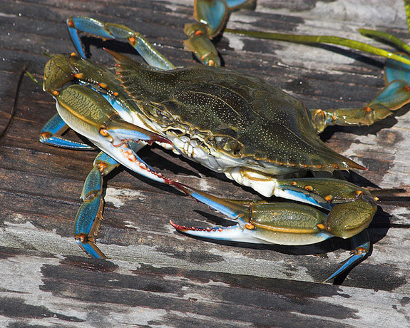 Image result for blue crabs