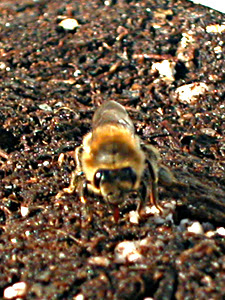 bee with tongue in dirt