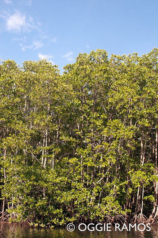 Culion - Mangroves IV