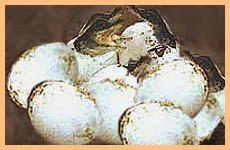 Crocodile Eggs