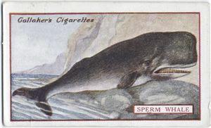 Sperm Whale. Digital ID: 411894. New York Public Library