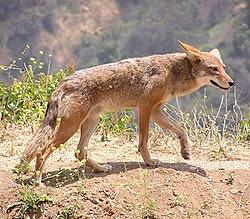 Canis latrans.jpg