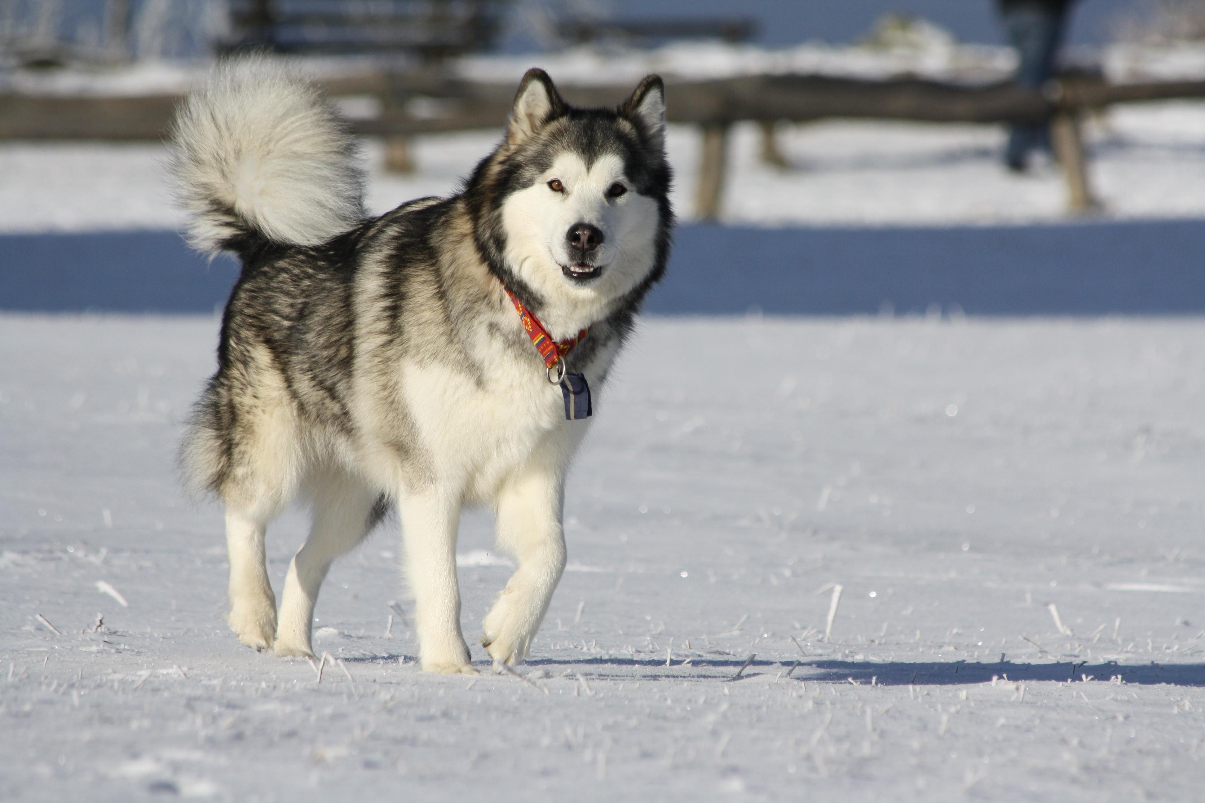 ALL BREEDS DOGS: Alaskan Malamute dog