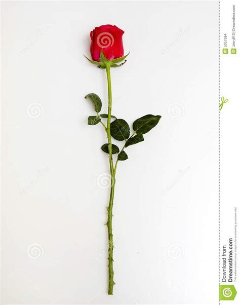 Rose Stock Images   Image: 5057594
