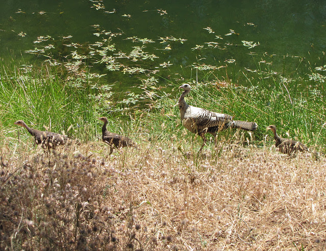 mom wild turkey and babies
