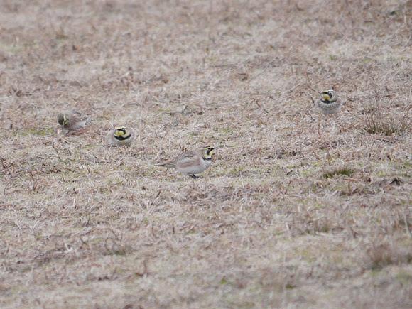 Ed Gaillard: birds &emdash; Horned Larks, Fort Tilden