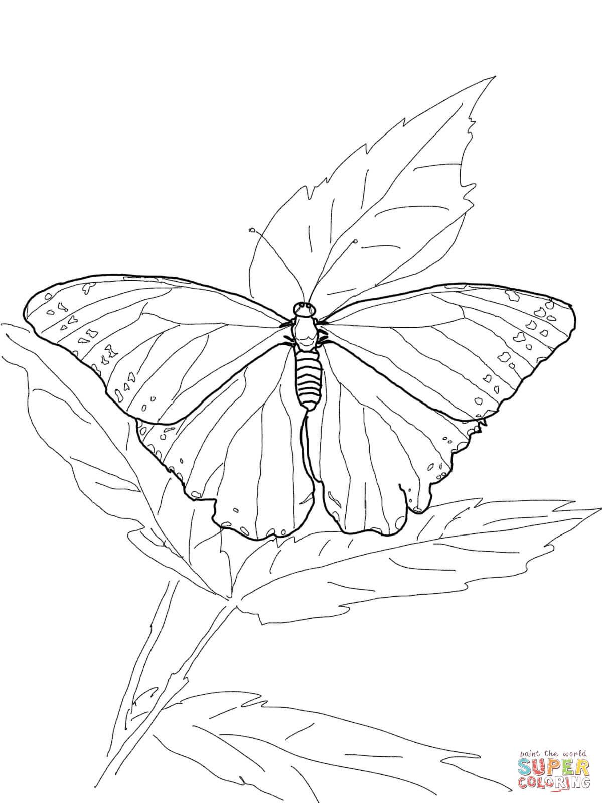 Morpho · Nordamerikanisches Pfauenauge from Schmetterling