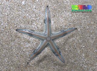 Painted sand star (Astropecten sp.)