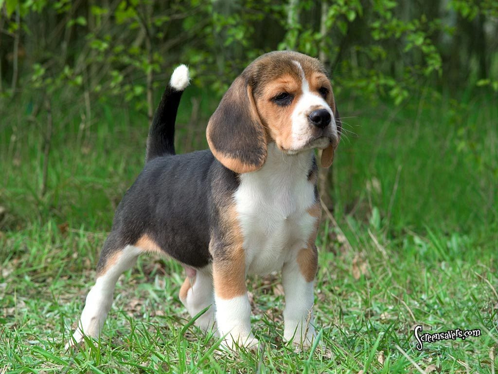 Beagle Breed Guide  Learn about the Beagle.