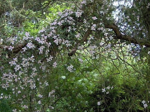 Clematis montana on pine tree