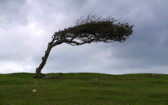 Wind Blown Tree