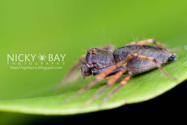 Lynx Spider (Oxyopidae) - DSC_4492