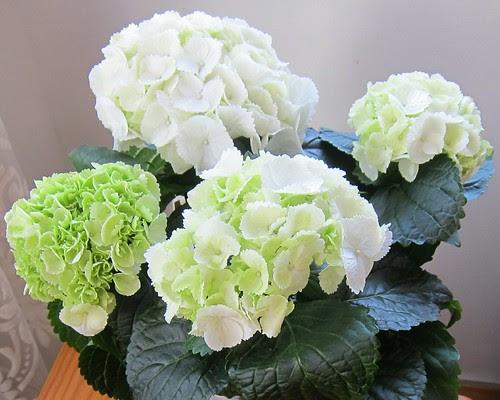 Valkoinen hortensia by Anna Amnell