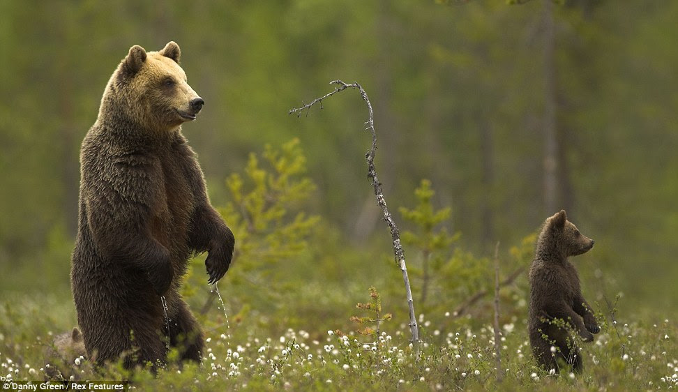 An adult and baby Brown Bear, stand up on their hind legs,  seemingly observing something in the distance in a lush green field in  Finland