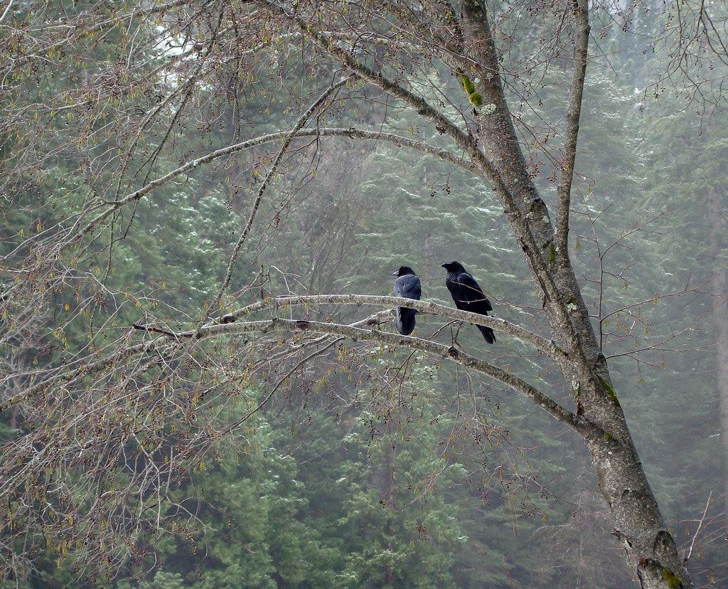 DSC04132 Yosemite two crows