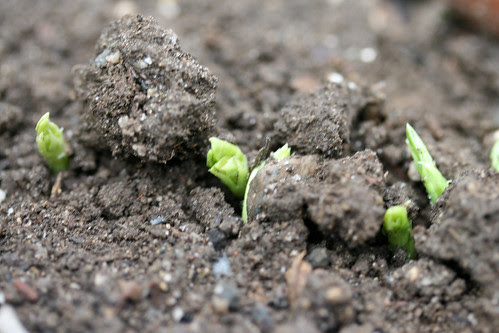pea sprouts 023