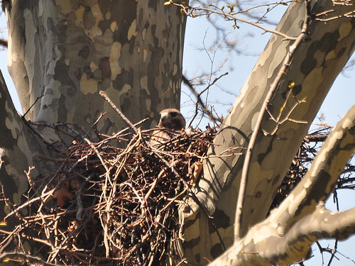 Papa Hawk in Nest