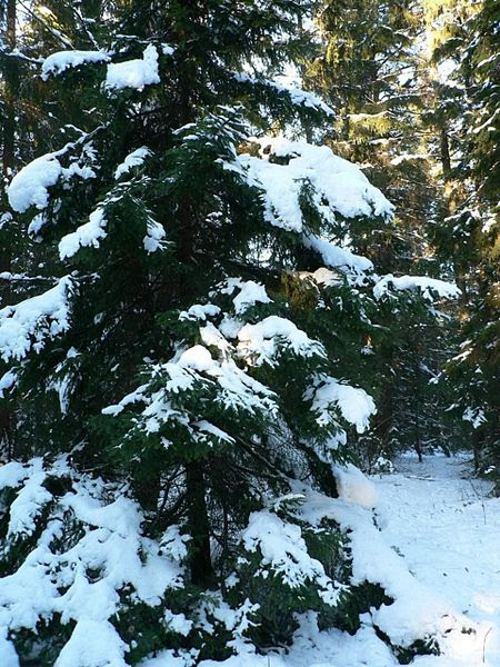 File:Snow on spruce tree.jpg